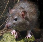 Ratto (9)